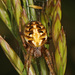 Arabesque Orbweaver - Photo (c) Judy Gallagher, some rights reserved (CC BY)