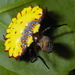 Aranoethra - Photo (c) Matt Muir, some rights reserved (CC BY-SA)
