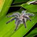 Iridopelma vanini - Photo (c) Eden Fontes, algunos derechos reservados (CC BY-NC)