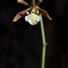 Prosthechea squalida - Photo (c) Ricardo Arredondo T., some rights reserved (CC BY-NC)
