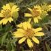 Verbesina dissita - Photo (c) Ron Vanderhoff, algunos derechos reservados (CC BY-NC)