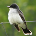 Eastern Kingbird - Photo (c) Michael, some rights reserved (CC BY-NC-SA)