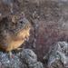Rata-algodonera Vientre Leonado - Photo (c) Ricardo Arredondo T., algunos derechos reservados (CC BY-NC)