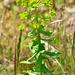 Euphorbia platyphyllos - Photo (c) bathyporeia, algunos derechos reservados (CC BY-NC-ND)