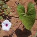 Ipomoea sinensis blepharosepala - Photo (c) Botswanabugs, alguns direitos reservados (CC BY-NC)