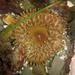 Urticina clandestina - Photo (c) Robin Gwen Agarwal,  זכויות יוצרים חלקיות (CC BY-NC)