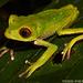 Rana Lemur - Photo (c) Todd Pierson, algunos derechos reservados (CC BY-NC-SA)