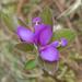 Polygaloides paucifolia - Photo (c) Susan Elliott, algunos derechos reservados (CC BY-NC)
