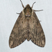 Catalpa Sphinx - Photo (c) Royal Tyler, some rights reserved (CC BY-NC-SA)