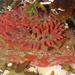 Urticina grebelnyi - Photo (c) Robin Gwen Agarwal, μερικά δικαιώματα διατηρούνται (CC BY-NC)