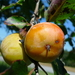 Persimmons - Photo (c) DM, some rights reserved (CC BY-ND)