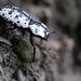Zopherinae - Photo (c) Matt Muir, μερικά δικαιώματα διατηρούνται (CC BY-SA)