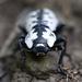 Zopherus nodulosus - Photo (c) Matt Muir,  זכויות יוצרים חלקיות (CC BY-SA)