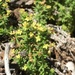 Hardham's Bedstraw - Photo (c) Mike Splain, some rights reserved (CC BY-ND)