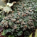Shingle Lichens - Photo (c) Melissa Hutchison, some rights reserved (CC BY-NC-ND)