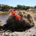 Echinocereus bacanorensis - Photo (c) Jorge Chacon, algunos derechos reservados (CC BY-NC)