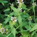 Prunella vulgaris lanceolata - Photo (c) Frank Mayfield,  זכויות יוצרים חלקיות (CC BY-SA)