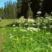 Ligusticum grayi - Photo (c) Peter Stevens, μερικά δικαιώματα διατηρούνται (CC BY)