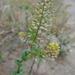 Lepidium perfoliatum - Photo (c) Thayne Tuason, algunos derechos reservados (CC BY-NC)