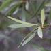 Colliguaja salicifolia - Photo (c) orlandomontes, μερικά δικαιώματα διατηρούνται (CC BY-NC)