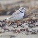Piping Plover - Photo (c) David Maher, some rights reserved (CC BY-NC-SA)