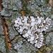 Bryopsis muralis - Photo (c) Marcello Consolo, algunos derechos reservados (CC BY-NC-SA)