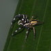 Phintelloides versicolor - Photo (c) sunnetchan, algunos derechos reservados (CC BY-NC-SA)