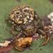 Cymbacha ocellata - Photo (c) tjeales, algunos derechos reservados (CC BY-SA)