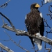 Steller's Sea-Eagle - Photo (c) Ольга Курякова, some rights reserved (CC BY-NC)