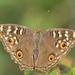 Mariposa Ojo de Venado Asiática - Photo (c) Vijay Vanaparthy, algunos derechos reservados (CC BY)