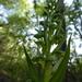 Dactylorhiza viridis virescens - Photo (c) ammlmt, algunos derechos reservados (CC BY-NC)