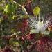 Capparis zeylanica - Photo (c) siddarthmachado, algunos derechos reservados (CC BY-NC)
