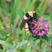 Fragrant Bumble Bee - Photo (c) gadel, some rights reserved (CC BY-NC)