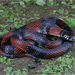 Double-banded Coral Snake Mimic - Photo (c) jakescott, some rights reserved (CC BY-NC)