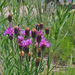 Plains Ironweed - Photo (c) ellen hildebrandt, some rights reserved (CC BY-NC)