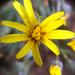 Crepis intermedia - Photo (c) scottmo, alguns direitos reservados (CC BY-NC), uploaded by scottmo