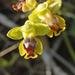 Ophrys sicula - Photo (c) lorenzodotti, osa oikeuksista pidätetään (CC BY-NC)