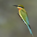 Blue-tailed Bee-Eater - Photo (c) Vijay Vanaparthy, some rights reserved (CC BY)
