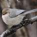 Bushtit - Photo (c) naturebud, some rights reserved (CC BY-NC)
