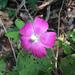 Bush Poppymallow - Photo (c) Jenny Smith, some rights reserved (CC BY-NC)