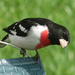 Rose-breasted Grosbeak - Photo (c) Trisha Shears, some rights reserved (CC BY-SA)