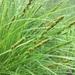 Carex vulpinoidea - Photo (c) Nelson, algunos derechos reservados (CC BY-NC)