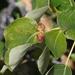 Pemphigus populicaulis - Photo (c) James Bailey, algunos derechos reservados (CC BY-NC)