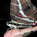 Mariposa Cometa Golondrina Negra - Photo (c) Cheryl Harleston López Espino, algunos derechos reservados (CC BY-NC-ND)