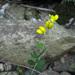 Baptisia tinctoria - Photo Masebrock, sin restricciones conocidas de derechos (dominio público)