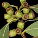 Eucalyptus angulosa - Photo (c) Kevin Thiele, algunos derechos reservados (CC BY)