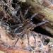 Agalenocosa velox - Photo (c) Lorena Zapata,  זכויות יוצרים חלקיות (CC BY-NC)