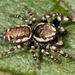 Peppered Jumping Spider - Photo Kaldari, no known copyright restrictions (public domain)