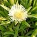 Planta de Hielo - Photo (c) Hester, algunos derechos reservados (CC BY-NC)