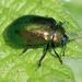 Plagiosterna aenea - Photo (c) S. Rae, algunos derechos reservados (CC BY)